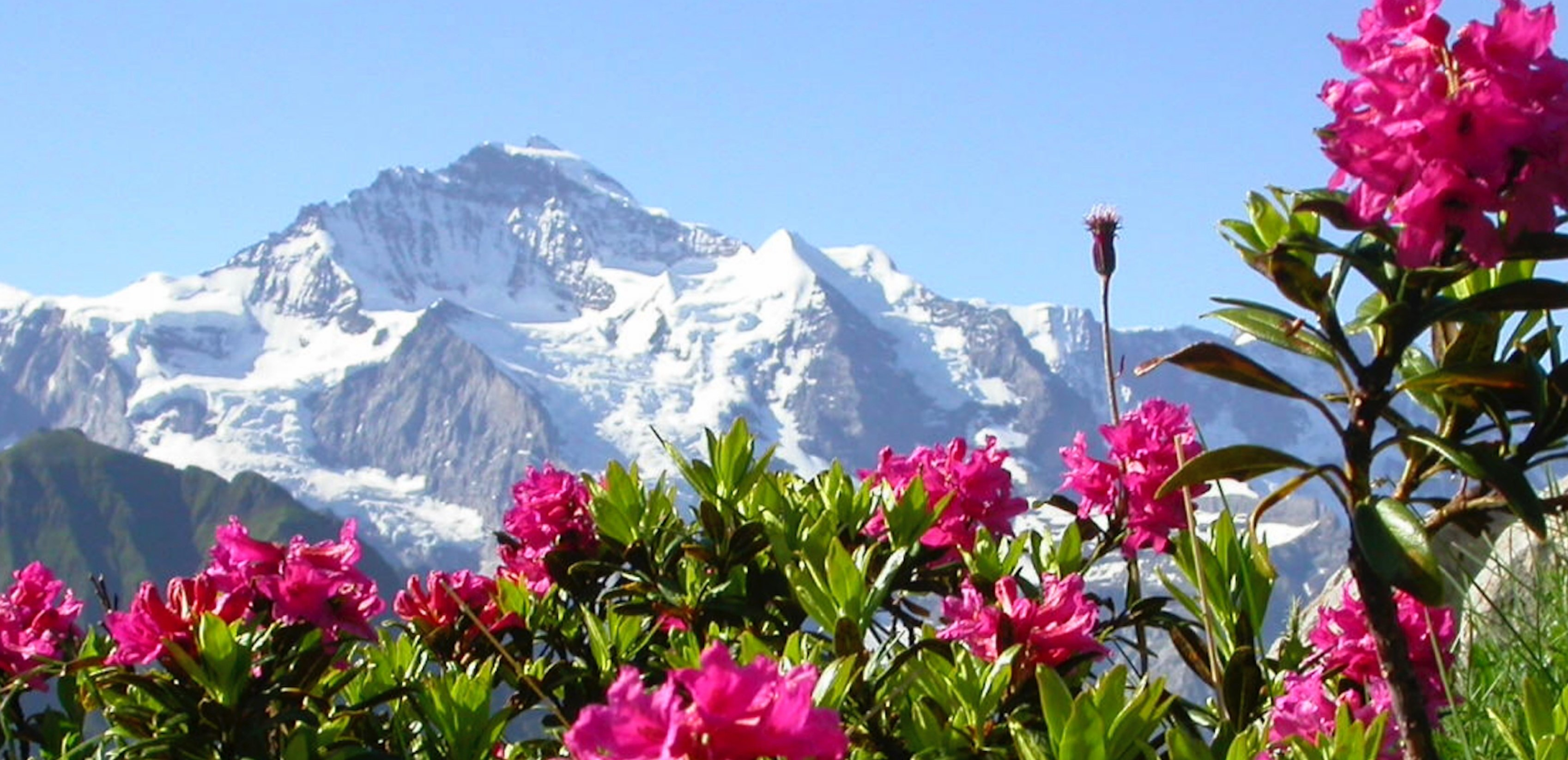 Alpenrose flowers with Swiss mountains in the background